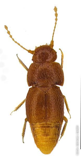 Ein Käfer, der jetzt so heißt wie Greta Thunberg
