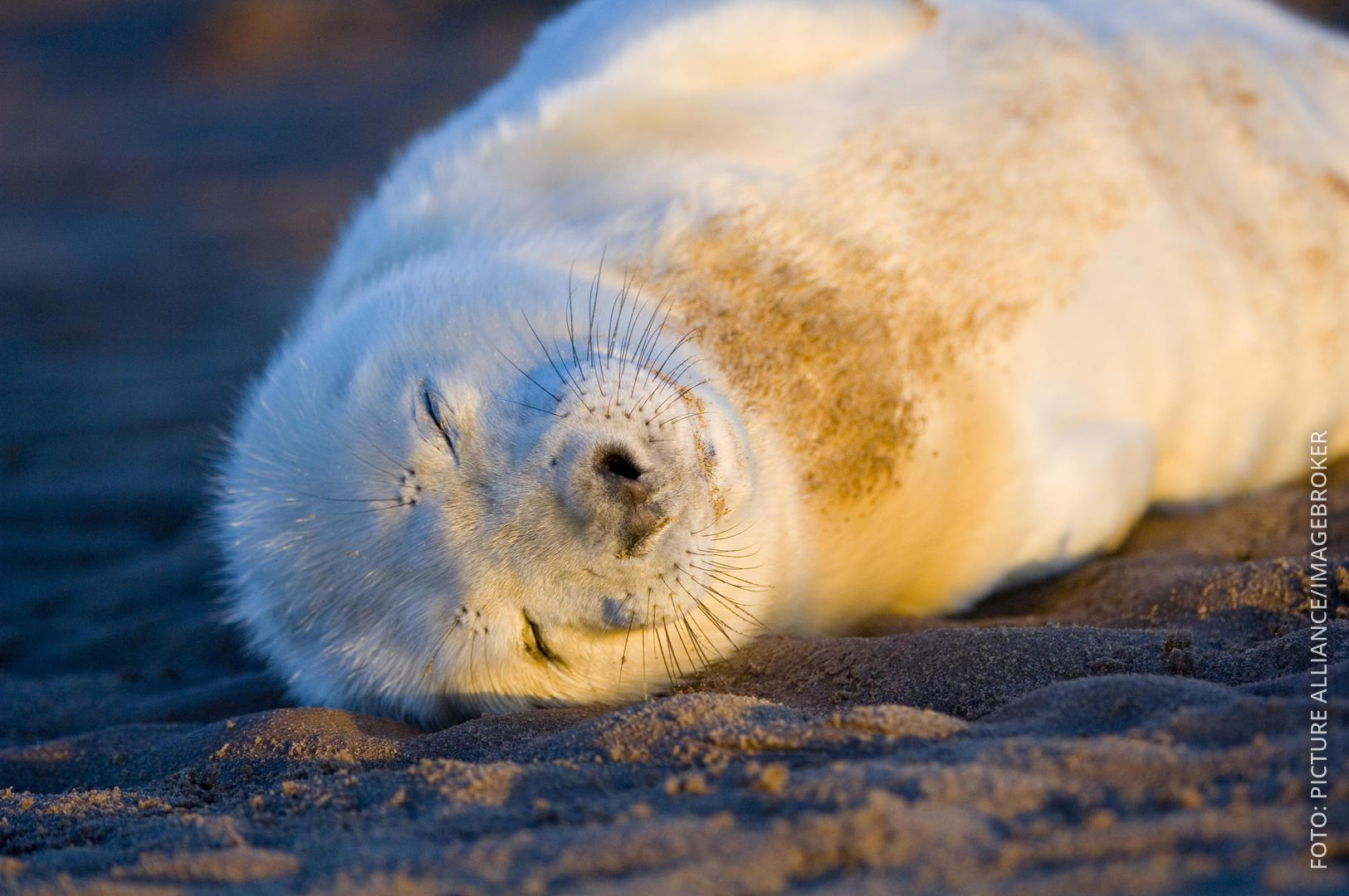 Baby-Robbe schläft am Strand