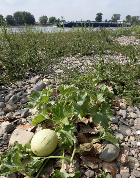 Melone im Rhein