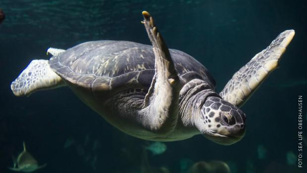 Schildkröte schwimmt durch Aquarium
