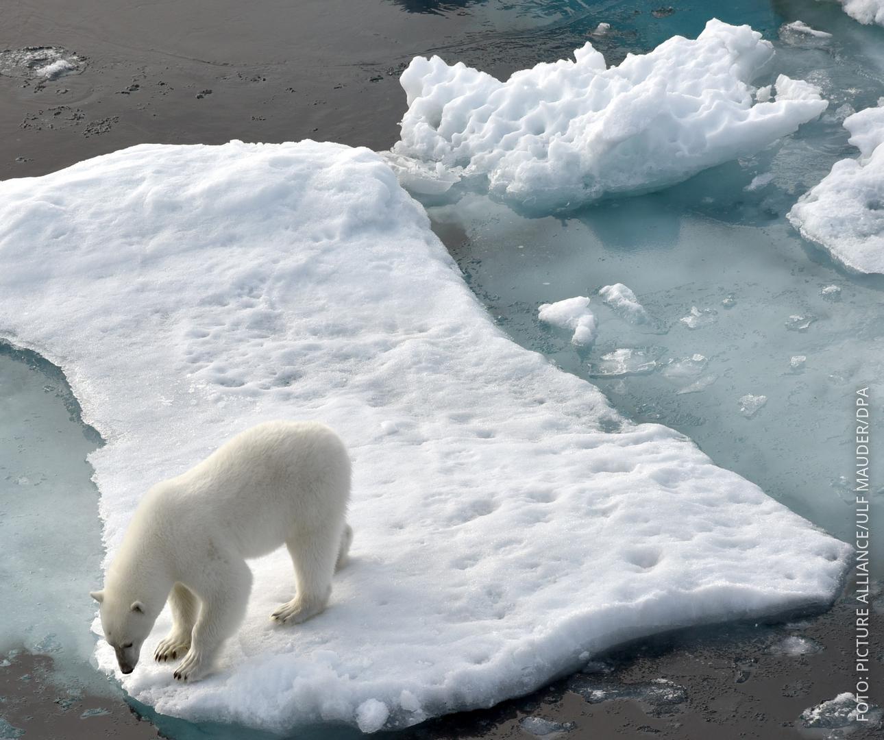 Ein Eisbär steht im Nordpolarmeer auf einer Eisscholle.