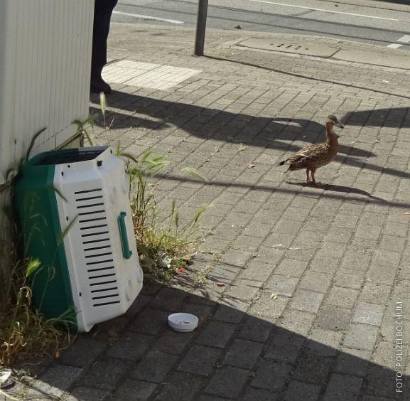 Enten-Mutter wartet während Rettungsaktion