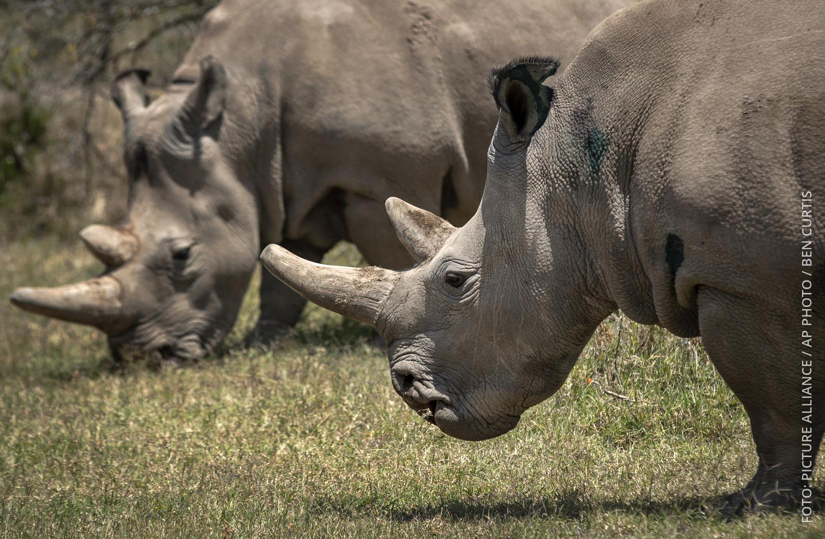 Die beiden nördlichen Breitmaulnashörner stehen in Kenia auf einer Wiese.