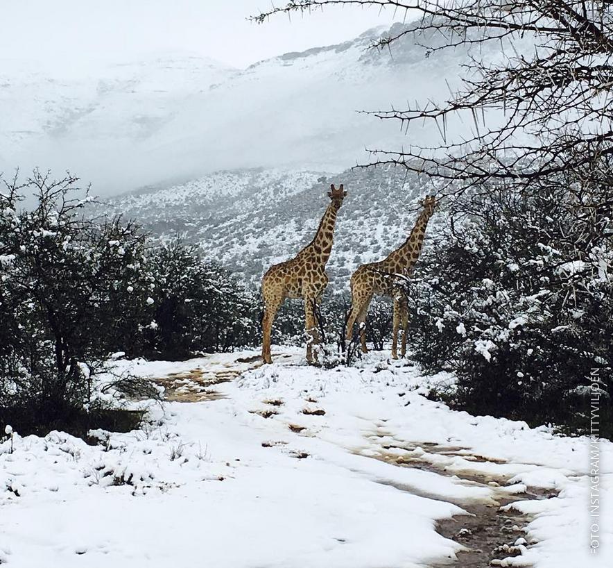 Giraffen in Südafrika stehen im Schnee