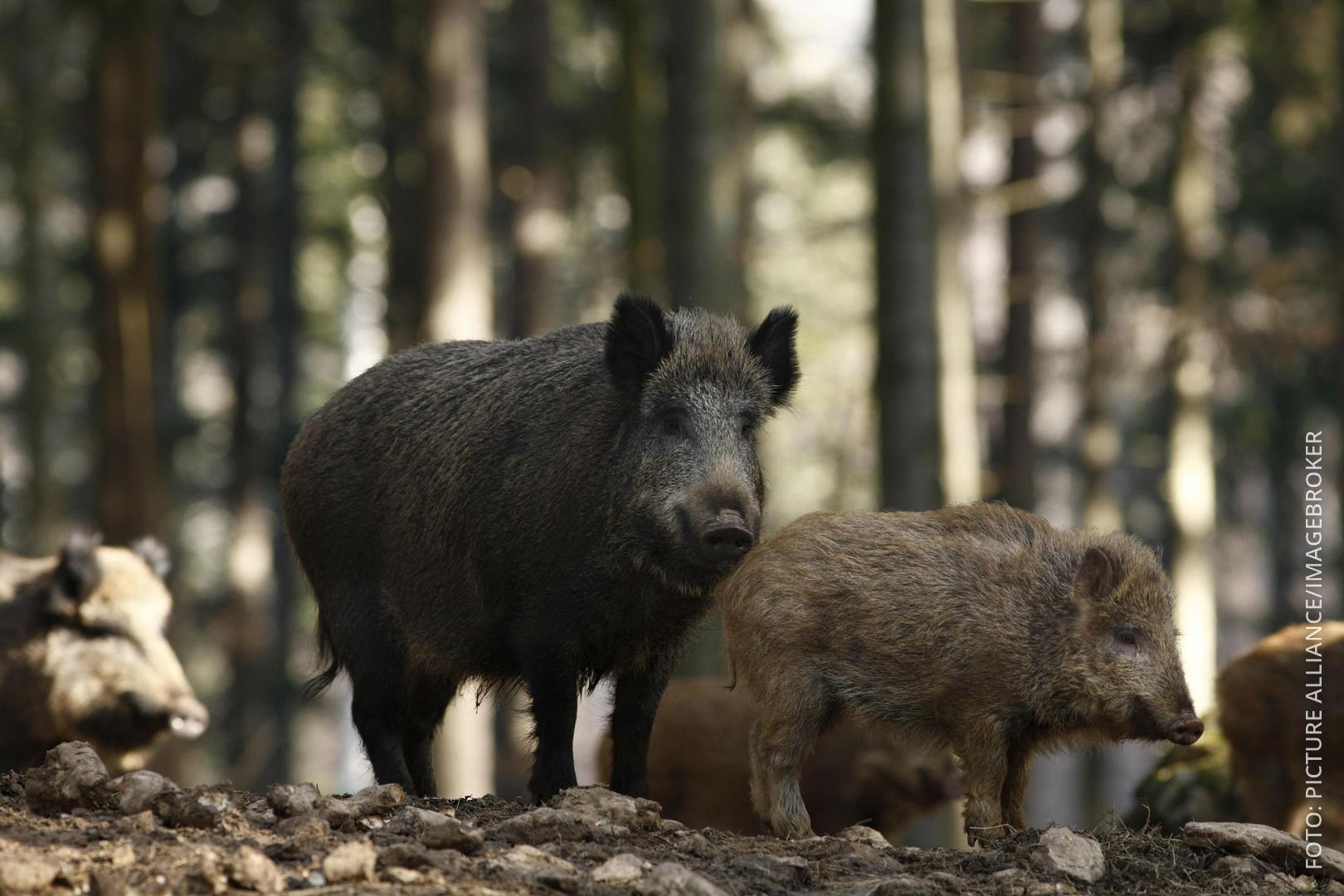 Mehrere Wildschweine stehen im Wald