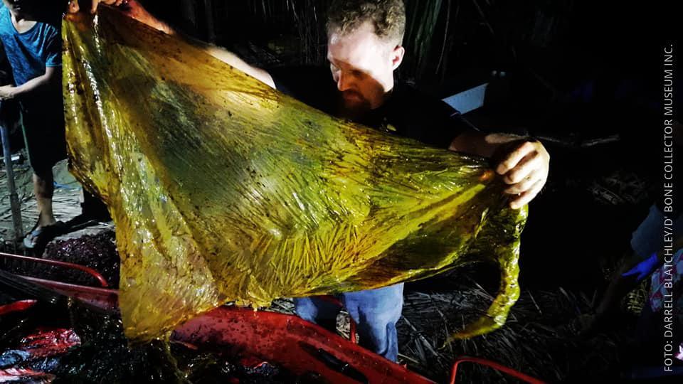 Toter Wal mit Plastiktüten im Bauch