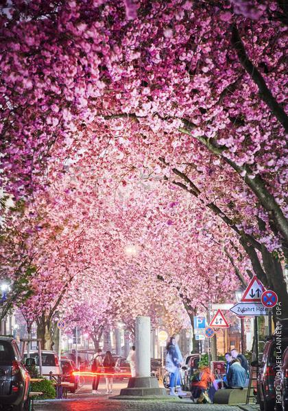 Blühende Kirschbäume in Bonn