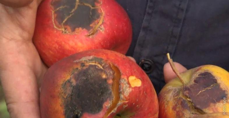 Ein Apfel mit Sonnenbrand