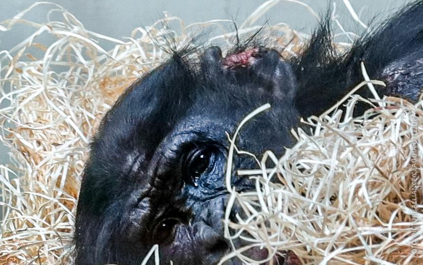Affe Bili mit blutigen Wunden an seinem Ohr