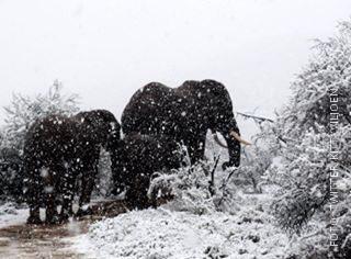 Elefanten im Schnee in Südafrika