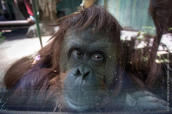 Orang-Utan-Dame Sandra hinter einer Glasscheibe